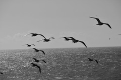 Cambria Sea Gulls in Flight (cotter.t) Tags: ocean sea seagulls flying gulls cambria