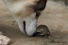 Wonderful love (shathel fahs) Tags: food pet garden nikon husky frog chain toad hunt