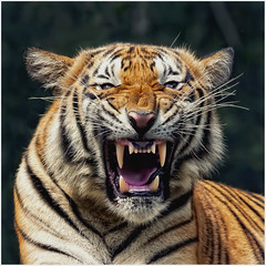 Malayan Tiger (Vin PSK) Tags: blinkagain allofnatureswildlifelevel1 allofnatureswildlifelevel2 allofnatureswildlifelevel3 allofnatureswildlifelevel4 allofnatureswildlifelevel5 allofnatureswildlifelevel6 allofnatureswildlifelevel7