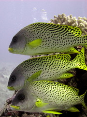 Sweetlips in a line