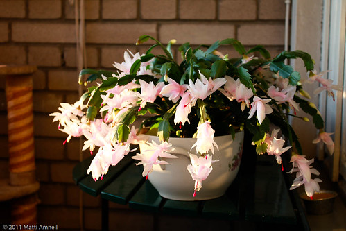 Christmas cactus in bloom by Brin d'Acier