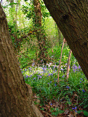 Putting Some Bluebells in the Frame in Gillham Wood! (antonychammond) Tags: uk blue trees england green bluebells woods eastsussex bexhillonsea sussexwildlifetrust gillhamwood mygearandme esenciadelanaturaleza bbng