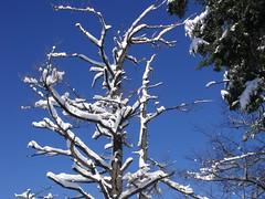 blue dreaming (dmixo6) Tags: trees winter snow nature beauty sly muskoka gravenhurst dugg dmixo6