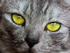 So, so green, or are they yellow ? (Deb Jones1) Tags: life portrait cats pets macro green home beauty animals cat canon fur 1 jones eyes explore felines deb flickrduel