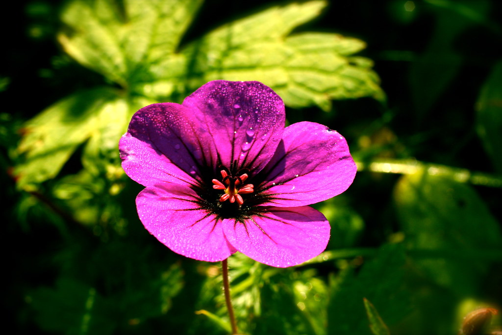 The World S Most Recently Posted Photos Of Geranium And Vivace