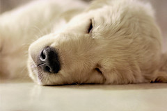 Nap (Lou Bert) Tags: dog goldenretriever puppy golden nap martha sleep retriever