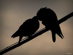 Love on a thread (Franco DAlbao) Tags: love birds lumix couple pareja amor feathers silhouettes aves palomas siluetas doves plumas leicalens dalbao francodalbao
