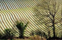 Le champ d'échalotes. (glemoigne) Tags: brittany farming bretagne breizh agriculture shallots bzh finistère échalote irvillac glemoigne gilbertlemoigne