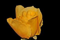 Uma rosa para os amigos do flickr:) (Zéza Lemos) Tags: flores portugal rose canon flor rosa amarelo jardim amizade algarve capture rosas amistad vilamoura pétalas mygearandme mygearandmepremium