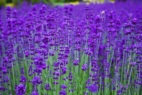 Lavender Dreaming by Jonathan.Russell