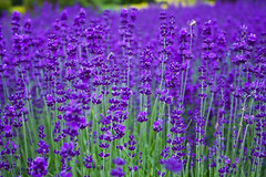 Lavender Dreaming (Jonathan.Russell) Tags: flowersadminfave