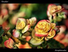 Tender /  (AmpamukA) Tags: red plant flower color macro rose yellow garden decor tender boken        ampamuka