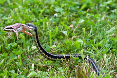 "Tacco Cott - garder snake carries frog • <a style=""font-size:0.8em;"" href=""http://www.flickr.com/photos/30765416@N06/5910418230/"" target=""_blank"">View on Flickr</a>"