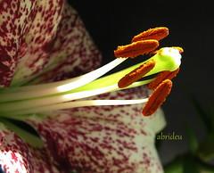 Lily Close ~ Up (abrideu away on Holiday) Tags: flowers macro canon lily ngc explored raynoxdcr250 natureselegantshots explorewinnersoftheworld flickrflorescloseupmacros abrideu fleursetpaysages