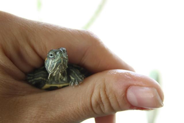 Mini turtle.