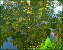 tree reflection at October (sabrina. G, busy) Tags: oktober herbst reflexions spaziergang tanne flickrdiamond blauinsel baumreflektion