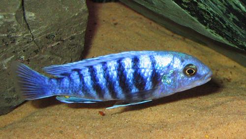 Labidochromis freibergi Likoma Island