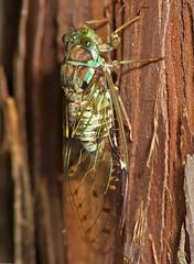 Meimuna oshimensis,  (aeschylus18917) Tags: park macro nature japan bug cicada insect nikon g semi micro  locust nikkor f28 nerima vr pxt 105mm nerimaku insecta 105mmf28 hemiptera auchenorrhyncha shakujikoen cicadidae cicadomorpha    105mmf28gvrmicro  cicadoidea d700 nikkor105mmf28gvrmicro shakujipark  nikond700 cicadinae danielruyle aeschylus18917 danruyle druyle   shakujiiken meimunaoshimensis