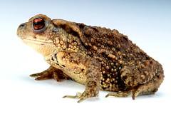 Asiatic Toad (Bufo gargarizans, Bufonidae) (John Horstman (itchydogimages, SINOBUG)) Tags: china macro toad amphibians lightbox herpetology bufonidae itchydogimages