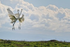 The Great Egret Dance #2 (andertho) Tags: california park bird love cool state save mating uncool mate egret rand wilder greategret sfist wilderranchstatepark cool2 cool5 cool3 cool6 cool4 cool7 iceboxcool jaketpwide