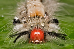 Caterpillar and Raindrops [Orgyia leucostigma] (giovzaid85) Tags: hairy macro green nature wet rain animals cl