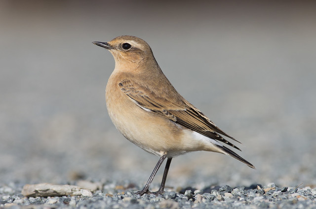 wheatear 300mm 4