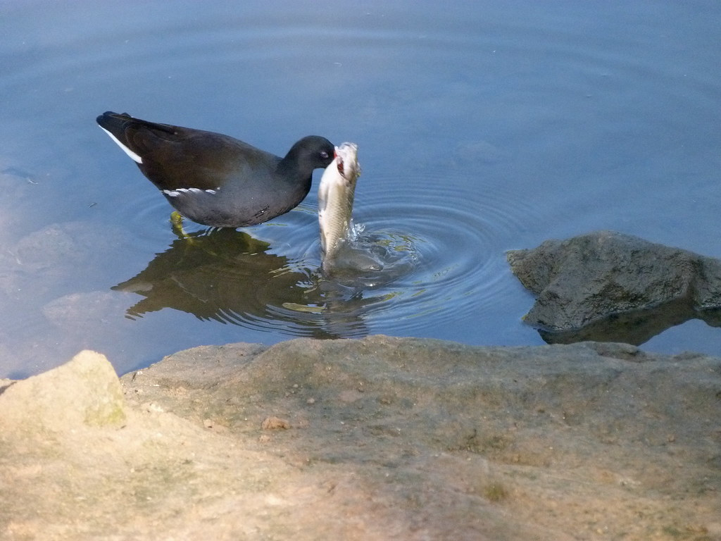 15-10-2011-moorhen-eating-fish