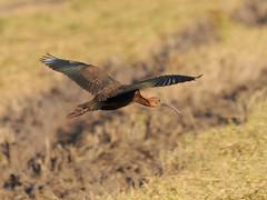 DSC_0772c (http://jvverde.birdsby.me/v2/) Tags: bird birds natural wildlife pssaro aves ave pssaros oiseau bir vogel pjaro uccello selvagem  lintu    madr     onwild emliberdade aoarlivre  nanatureza uccelloaves