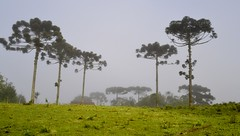 Pinheiros na névoa (RadamesM) Tags: mist paraná fog pine rural countryside curitiba agriculture neblina névoa araucária pinheiro agricultura passaúna araucariaangustifolia árearural