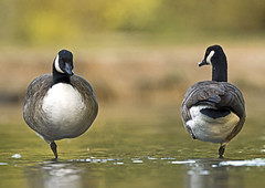 Canada-geese_5901 (Peter Warne-Epping Forest) Tags: uk nature water canon wildlife goose essex connaught canda canadensis branta
