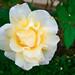 イエロー クイーン エリザベス(Yellow Queen Elizabeth)