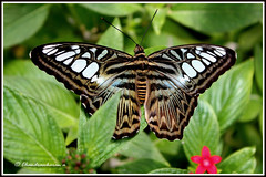 1721 bf_11535 - Blue Clipper Butterfly (Parthenos sylvia lilacinus) (chandrasekaran a 546k + views .Thanks to visits) Tags: blue nature butterfly massachusetts insects sylvia clipper parthenos canon60d lilacinus