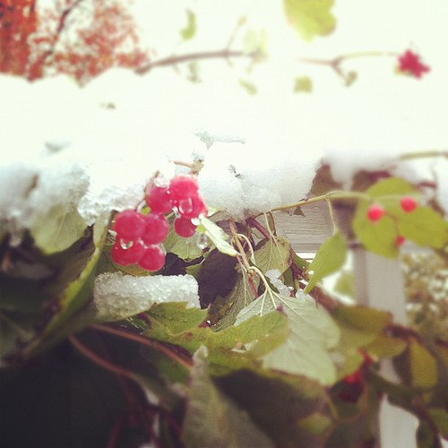 snow capped viburnum