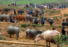 Can Cau Market, Vietnam (ArnisD) Tags: animal buffalo cattle north tribal vietnam viet hmong nam hilltribe flowerhmong