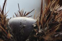 L'aria d'autunno... (ZenZer0Zer0) Tags: autumn macro fall chestnut autunno cupula reverselens riccio castagna castaneasativa cupule fruchtbecher dofstacking ringadapter calybium