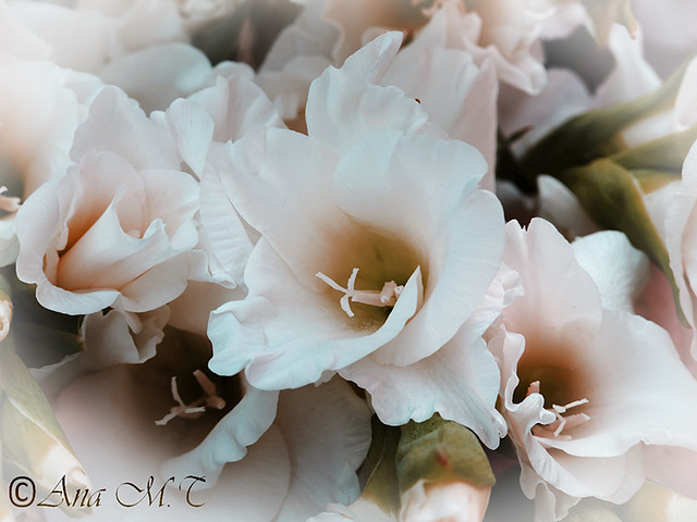 IMG_2359_Gladiolo-blanco