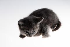 i gatti puzzano ma questo  bello... (rattoeur) Tags: portrait pet cat grey kitten kat feline grigio little felix small shy felino gatto ritratto katzen pelo cucciolo peluches mici