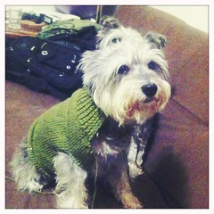 Cristal Trying On Her WIP Sweater (CatPeters) Tags: dog knitting knit schnauzer wip dogsweater lionbrand hipstamatic standardflash blankofilm helgavikinglens