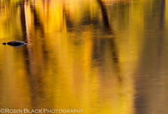 Fall Reflections, Yosemite National Park (Robin Black Photography) Tags: longexposure autumn light distortion abstract color detail reflection tree water yellow landscape gold mirror nationalpark fallcolor ngc yosemite naturalwonder nationaltreasure goldenhour naturesbest yosemitevalley nationalgeographic mercedriver outdoorphotographer canon5dmarkii americasbestidea robinblackphotography