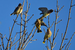 Cedar Waxwings DSC_7482 by Mully410 * Images