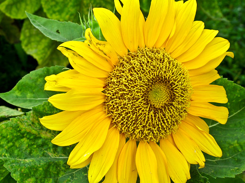 IMG_0218 Sunflower , 向日葵
