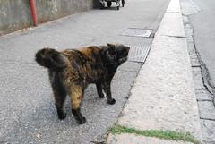 DSC_5455 (Christian Natiez) Tags: cat fur schweiz switzerland zurich september katze zrich fell 2011 felidae felissilvestris felissilvestriscatus