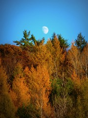 Waxing Gibbous in the Afternoon (outinthesticks) Tags: november blue moon yellow newengland bluesky northamerica larch tamarack larixlaricina
