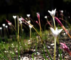 Rich & Radiant (Jason A. Samfield) Tags: pink flowers white flower color green backlight whiteflower dof bokeh depthoffield backlit depth pinkish backlighting reddish whiteflowers rainlily rainlilies