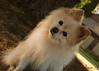 DSC_0751 1 (zoo2292) Tags: bear dog puppy doggy pomeranian pompom