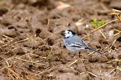 Bergeronnette grise DSC09984 (6franc6) Tags: 30 gard camargue ornithologie scamandre 6franc6 oiseau6f