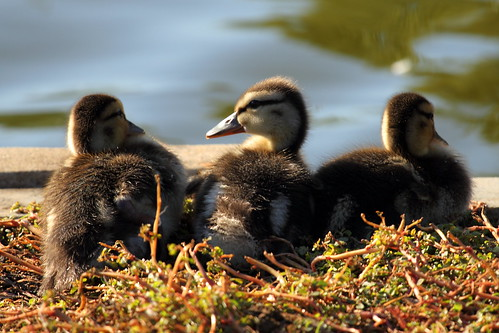 Mallard Ducklings in November