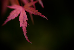 Maple (Benjamin Postlewait) Tags: autumn fall lensbaby leaf day28 lensbabymacro japanesemaplechallenge