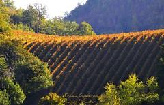 ........a  Serrapetrona..... (Franca Gasperoni) Tags: nikon d 300 autunno macerata vernaccia vigna serrapetrona francagasperoni