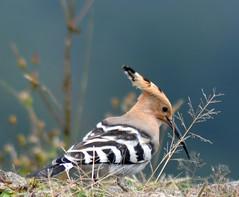 Near the edge (anindya55) Tags: portrait nature birds nikon ngc upupaepops hoopoe meghma tamronaf70300mmf456dildmacro singalilanationalpark d5100 nikond5100